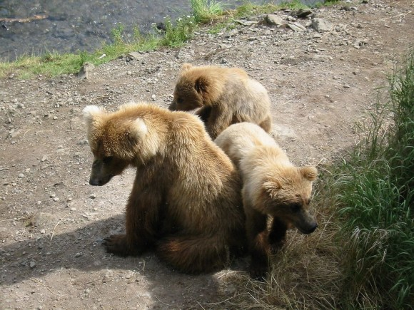 1024px-katmai_sow_and_cubs-580x435